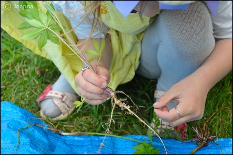 Oglądanie korzenia łubinu