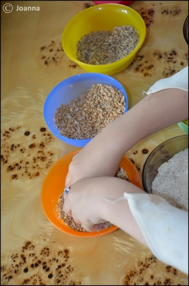 badanie ziaren zbóż
