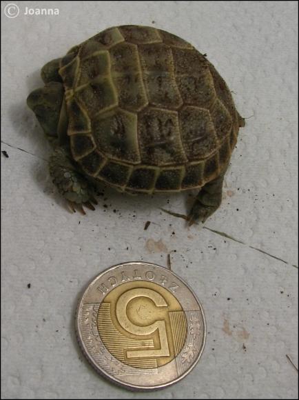 młody żółw stepowy