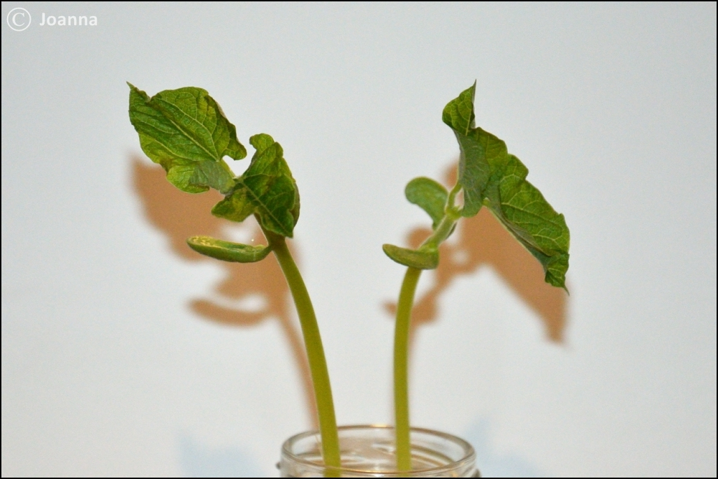 liście fasoli