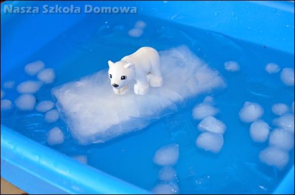 niedźwiedź polarny na krze
