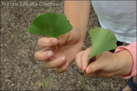 liście miłorzębu