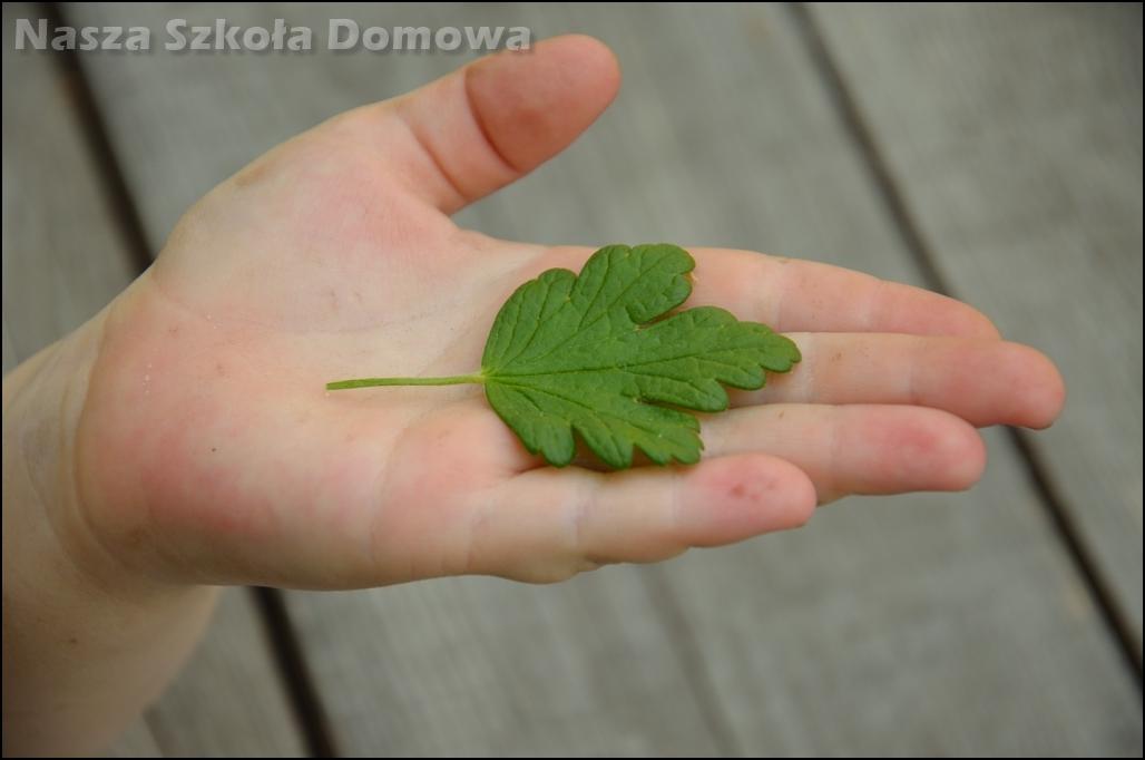 liść dłoniasty