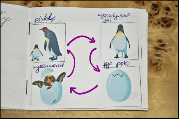 pingwin - cykl życia
