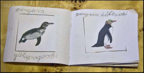 pingwiny - gatunki