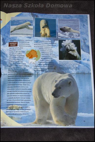Niedźwiedzie - niedźwiedź polarny