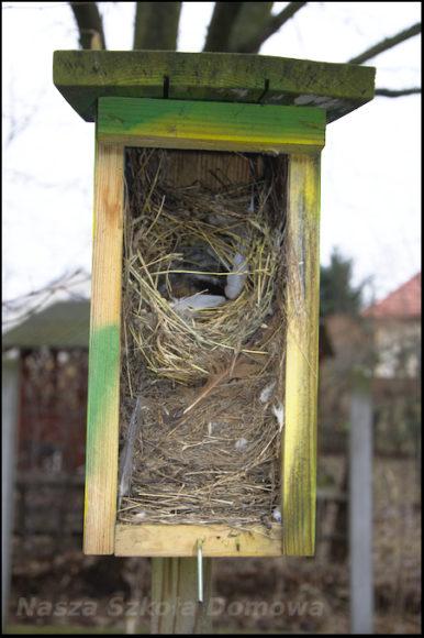 budka lęgowa - gniazdo mazurka