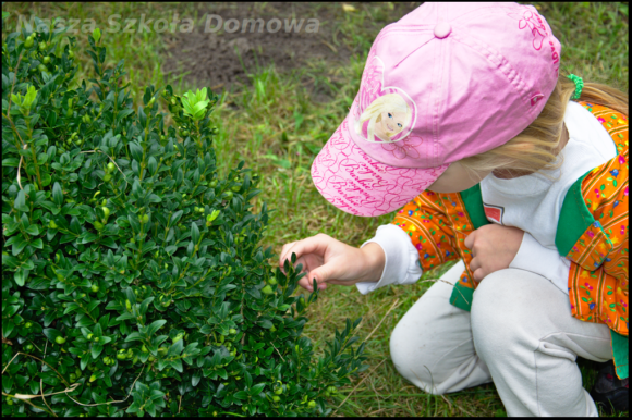 Bukszpan - oględziny liści